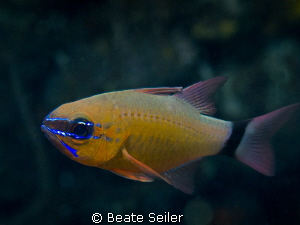 Cardinal fish by Beate Seiler 